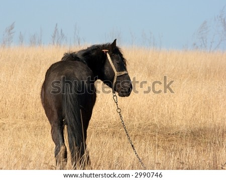 Black horse grazing on a dry field