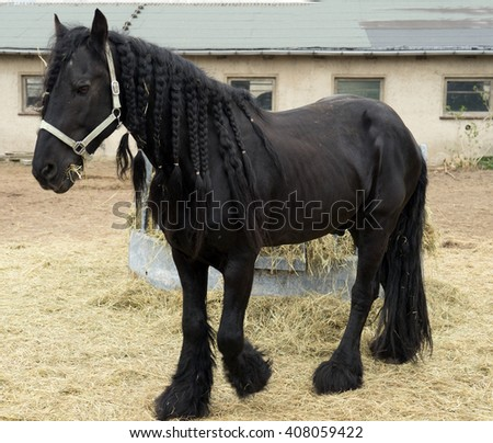 black Horse in a paddock / black Horse - stock photo
