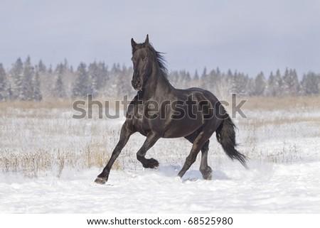 black horse in snow - stock photo
