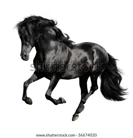 black horse pura raza espanola runs gallop isolated on white background - stock photo