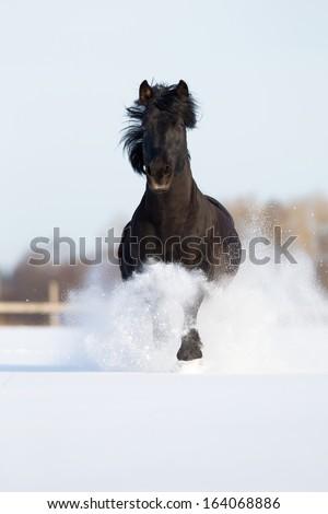Black horse runs gallop in winter. - stock photo
