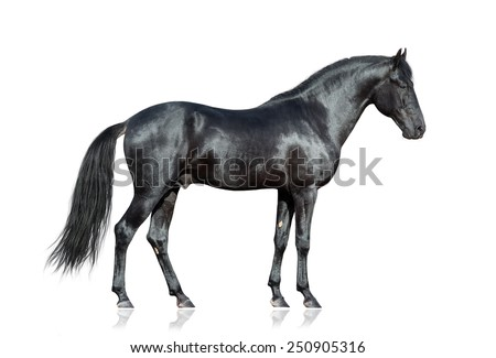Black horse standing on white background, isolated. - stock photo