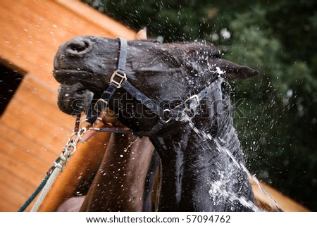 Black horse washing on farm - stock photo
