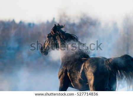 black horse winter portrait in action