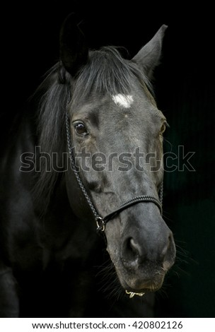 black horse with a white blaze on his head standing on a dark background in leather halter