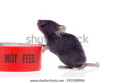 """Black hungry baby mouse next to the duct tape that says """"do not feed"""" - stock photo"""