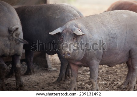 Black Iberian pigs running free. Badajoz province, Extremadura, Spain - stock photo