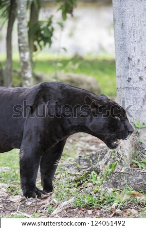 Black Jaguar at Cancun, Mexico - stock photo