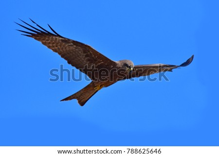 Black kite bird (Milvus migrans) on blue sky background, Thailand.