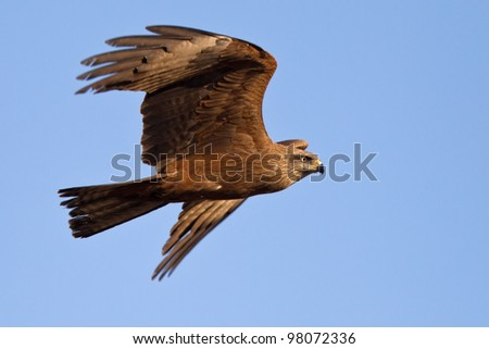 Black Kite flying at blue sky - Milvus migrans - stock photo