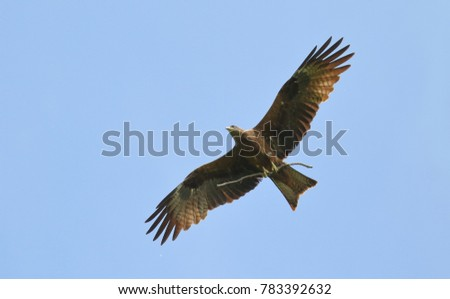black kite in the blue sky bears a branch in the paws for the construction of the nest