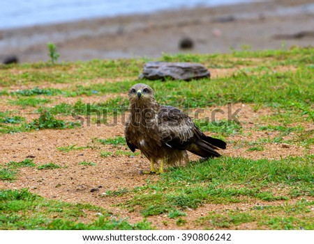 Black Kite India, standing alone.