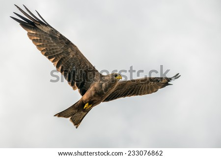 Black kite (Milvus migrans) flying in the Crater Ngorongoro National Park, Tanzania - stock photo