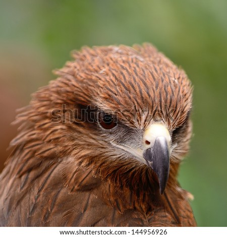 Black Kite (Milvus migrans), head profile