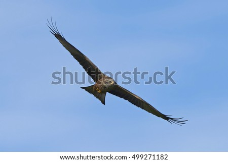 Black kite (Milvus migrans) in flight with blue skies in the background
