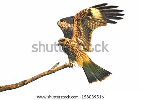 Black kite resting on a branch on white background - stock photo