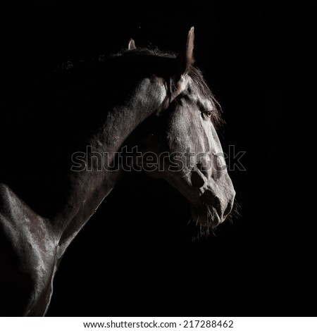 Black Kladruber horse portrait in the darkness - stock photo