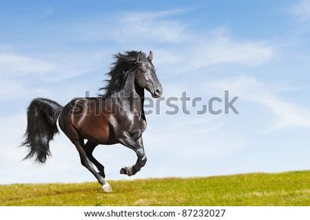 Black Kladruby horse runs gallop on freedom - stock photo