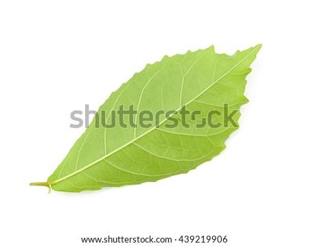 black Koi leaves isolated on white background - stock photo