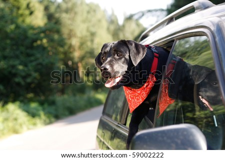 black lab in car window