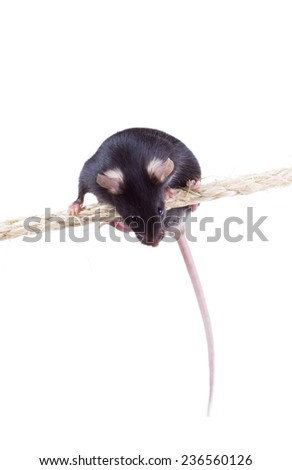 Black laboratory mouse is sitting on a rope. Isolated on white background Edit description - stock photo