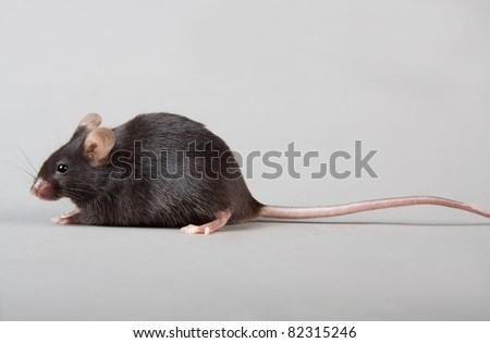 black laboratory mouse isolated on grey background - stock photo