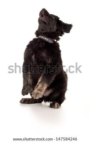 black labrador dog is isolated - stock photo