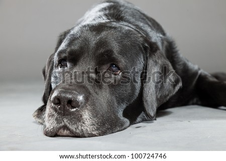 Black labrador dog isolated on grey background. Studio shot. Portrait of a cute pet. - stock photo