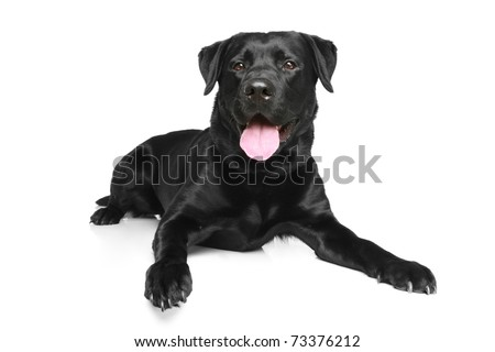 Black Labrador dog lying on a white background - stock photo
