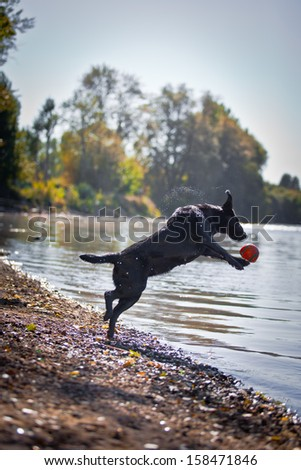 Black Labrador dog on the nature of the autumn - stock photo