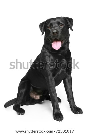 Black Labrador dog sitting on a white background