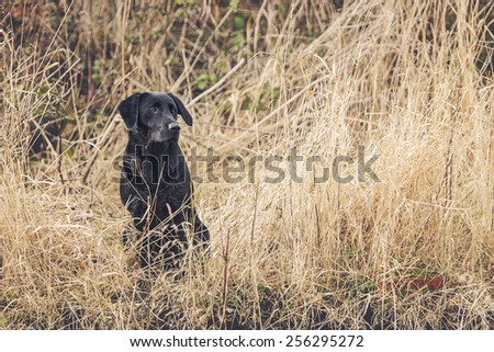 Black Labrador in Field - stock photo