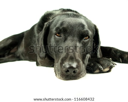 Black Labrador isolated on white relaxing on the floor.