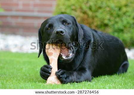 black labrador lying on meadow and eat bone - stock photo