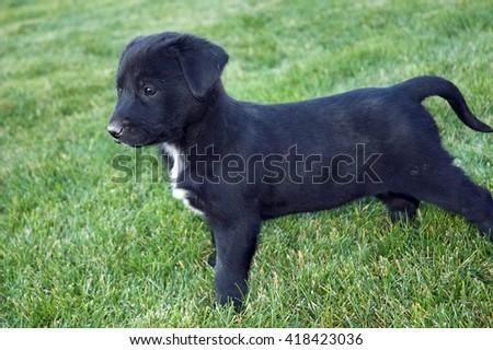 Black Labrador mix - stock photo