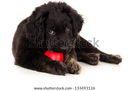 black labrador puppy biting toy - stock photo