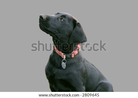 black labrador puppy on gray background - stock photo