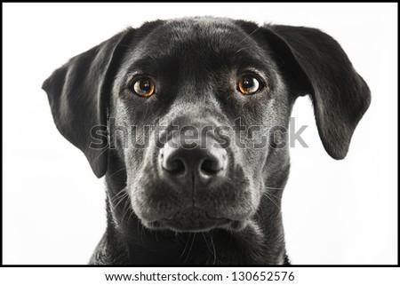 Black Labrador puppy over a white background - stock photo