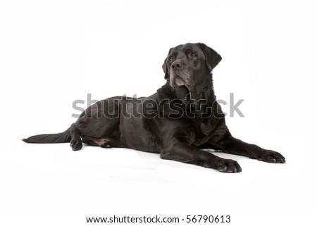 black labrador retriever dog lying on the floor, isolated on a white background - stock photo