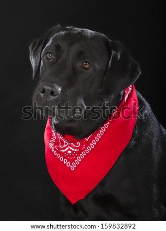 black labrador retriever dog on black background - stock photo