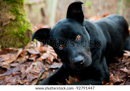Black Labrador Retriever Dog Playing Outside in Park - stock photo