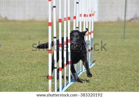Black Labrador Retriever Doing Weave Poles at Dog Agility Trial - stock photo