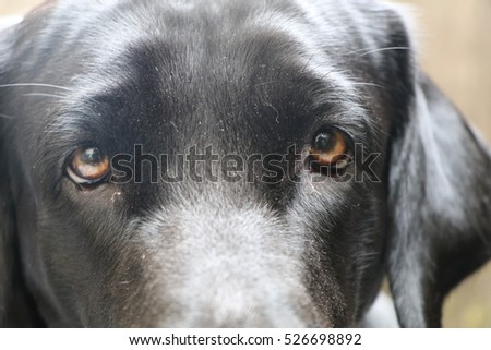 Black Labrador Retriever eyes