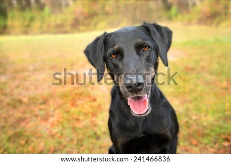 Black labrador retriever greyhound mix dog sitting outside looking curious watching waiting alert while happy panting and staring at camera - stock photo