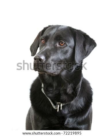 Black Labrador Retriever Looking up - stock photo
