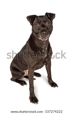 Black Labrador Retriever mixed breed dog sitting on a white background with a funny expression on his mouth