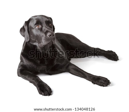 Black Labrador Retriever 18 months old isolated on white background - stock photo