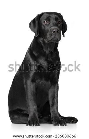 Black Labrador Retriever on white background - stock photo