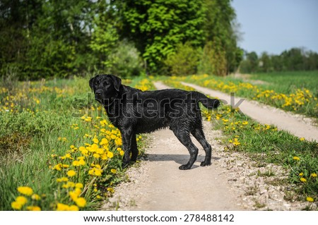 Black Labrador Retriever outdoors in yellow flower field - stock photo
