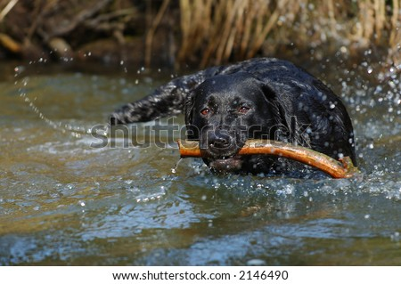 Black labrador retriever playing in the river
